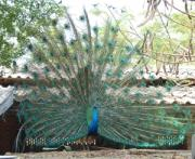Siddarth Rai - Dance of the peacock