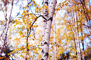 Golden Leaves.beauty Prints - Dancing Birches Print by Jenny Rainbow