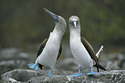 Galapagos Islands Posters - Dancing Blue-footed Boobies Poster by Tui de Roy