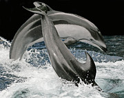 Sea Mammals Framed Prints - Dancing Dolphins Framed Print by Larry Linton