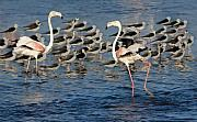 Flamingos Art - Dancing Flamingos by Basie Van Zyl