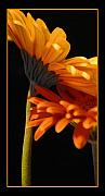 Botanicals Framed Prints - Dancing Gerberas Framed Print by Linda  Parker