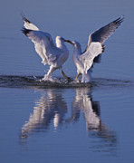Pauls Colorado Photography Prints - Dancing Gulls Print by Paul Gana
