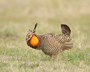 Prairie Chicken Prints - Dancing in the Morning Print by Gerry Sibell
