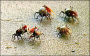 Fiddler Crab Framed Prints - DANCING of the FIDDLERS Framed Print by Karen Wiles