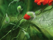 Orange Poppy Art Posters - Dancing Poppies Poster by Carol Cavalaris