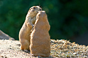 Groundhog Photography Acrylic Prints - Dancing Prairie dogs Acrylic Print by Gert Lavsen