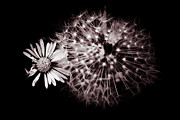 Dandelion And Daisy Print by Grebo Gray