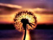 Amazing Sunset Prints - Dandelion at Sundown Print by Karen M Scovill