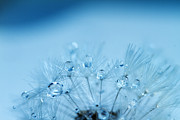 Water Drops Prints - Dandelion Bouquet Print by Rebecca Cozart