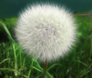 Dandelion Drawings - Dandelion Clock by Ciaran Shaman