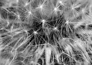 Clare Scott Prints - Dandelion Clock Print by Clare Scott