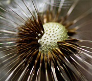 Seedpod Prints - Dandelion Closeup Print by Mitch Shindelbower