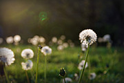 Missouri Photos - Dandelion Dazzlers by Cricket Hackmann