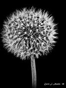 Portrait Format Digital Art - Dandelion Descending by Carol F Austin