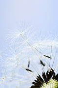 Blown Framed Prints - Dandelion Framed Print by Elena Elisseeva