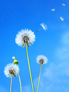 Blow Prints - Dandelion field Print by Anna Omelchenko