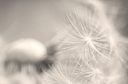 Dandelion Flower Print by Ceca Photography