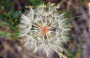 Wishes Posters - Dandelion Fuzz Poster by Marilyn Hunt