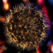 Dandelion Digital Art - Dandelion II by David Patterson
