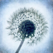 Dandelion In Blue Print by Tamyra Ayles