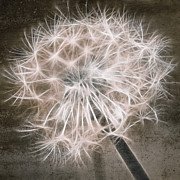 Aimelle Prints Metal Prints - Dandelion In Brown Metal Print by Aimelle