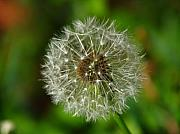 Garden Photos - Dandelion by Juergen Roth