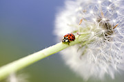 Ladybugs Photos - Dandelion Ladybugs by Falko Follert