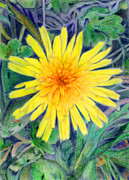 Dandelion Drawings - Dandelion by Linda Pope