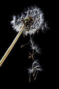 Concept Photo Metal Prints - Dandelion loosing seeds Metal Print by Garry Gay