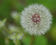 Sandi OReilly - Dandelion Macro