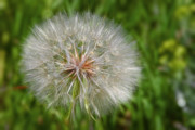Lush Framed Prints - Dandelion Puff - The Summer Queen Framed Print by Christine Till