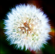 Parachute Ball Metal Prints - Dandelion Puff Metal Print by Susie Weaver