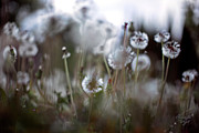 In The Fog Photo Posters - Dandelion Poster by Renata Vogl