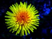 Unfold Prints - Dandelion Print by Robert Knight