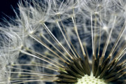 Mp-e65 Posters - Dandelion Seed Head Poster by Ryan Kelly
