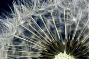 Dandelion Seed Head Print by Ryan Kelly