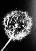 Family Time Posters - Dandelion Seed Head (taraxacum Officinale), Close-up (b&w) Poster by Christian Adams