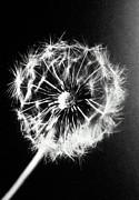 Dandelion Seed Head (taraxacum Officinale), Close-up (b&w) Print by Christian Adams
