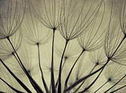 Dandelion Seed Prints - Dandelion Seeds, Close Up Print by By Julie Mcinnes