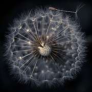 Dandelion Seed Prints - Dandelion Seeds On Black Background Print by Florence Barreau