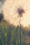 Dandelion Sunshine Print by Nancy  Coelho