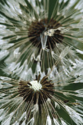Aster  Framed Prints - Dandelion Taraxacum Officinale Seed Framed Print by Gerry Ellis