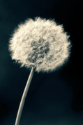Closeup Photo Prints - Dandelion Print by Ulrich Schade