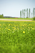 Close Focus Nature Scene Photo Posters - Dandelions Growing In Meadow Poster by Stock4b-rf