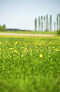 Dandelions Growing In Meadow Print by Stock4b-rf
