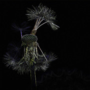 Modified Photos - Dandelions by Heiko Koehrer-Wagner