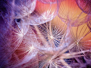 Dandelions Photos - Dandelions in Pink by Iris Greenwell