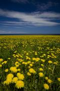 Field Of Dandelions Prints - Dandelions, Near Howards Cove, Prince Print by John Sylvester
