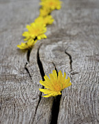 Wood Grain Posters - Dandelions On Bench Poster by SVGiles